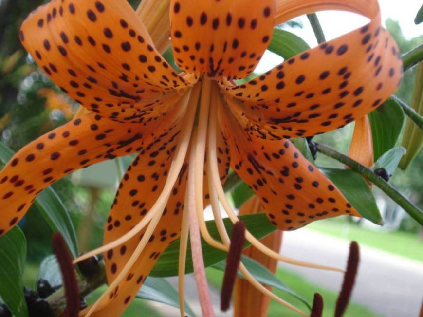Tiger lily, photo by Mary Warner, July 22, 2016.