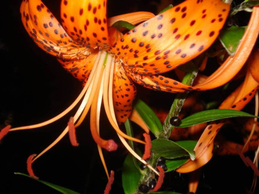 Tiger lily, shot in dark with flash, photo by Mary Warner, July 24, 2016.